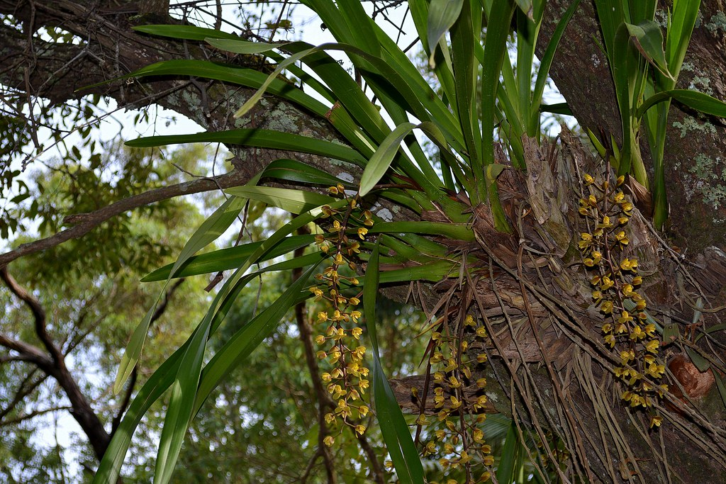 Orchid Cymbidium White Cymbidium madidum | Ar...