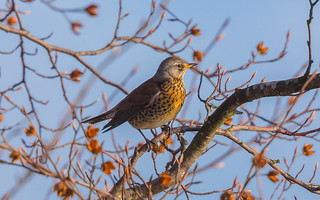 Fieldfare | by scyrene
