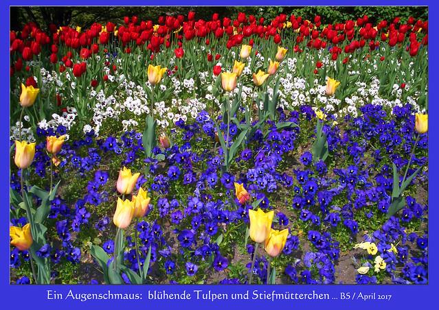 Blühende Augenschmäuse ... Tulpen und Stiefmütterchen, April 2017 ... Foto: Brigitte Stolle, Mannheim