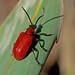 Lilioceris lilii - the Lily Beetle