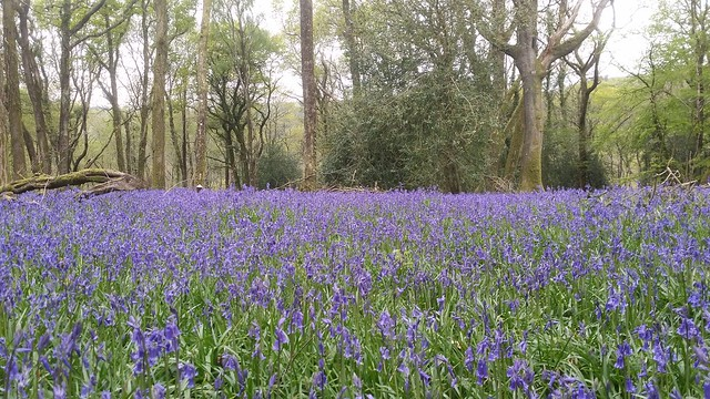 Bluebells in Chase Wood