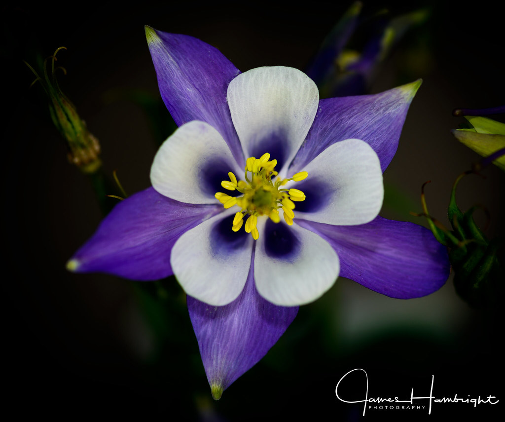 Aquilegia Origami Blue And White Columbine Thrive In Any N Flickr