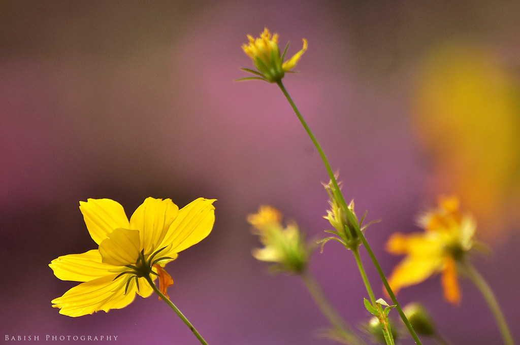 Yellow cosmos flower babish vb flickr yellow cosmos flower by babish vb mightylinksfo