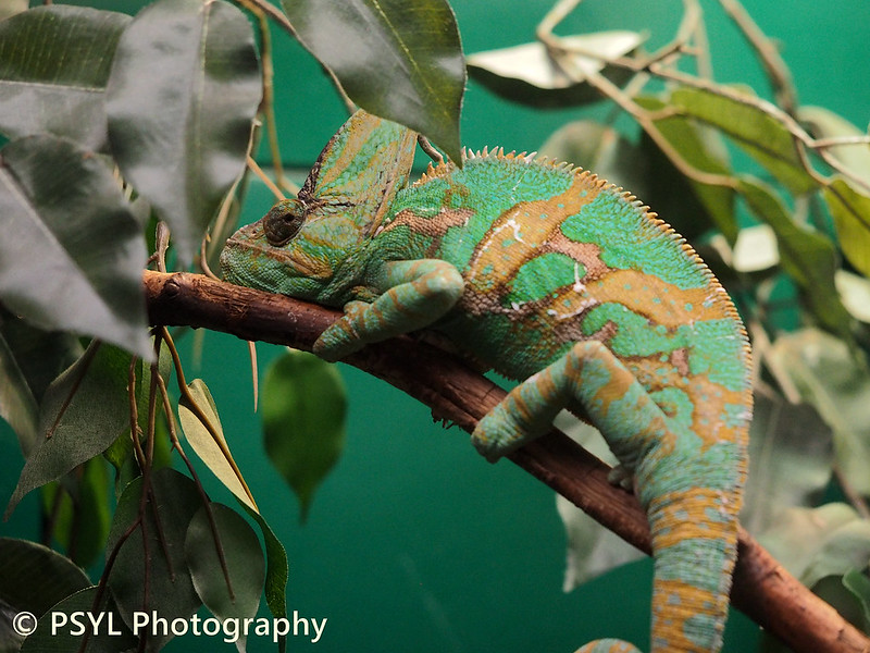 Veiled chameleon (Chamaeleo calyptratus)