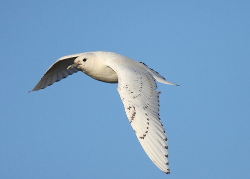 ivory gull | by ...chiddy mark
