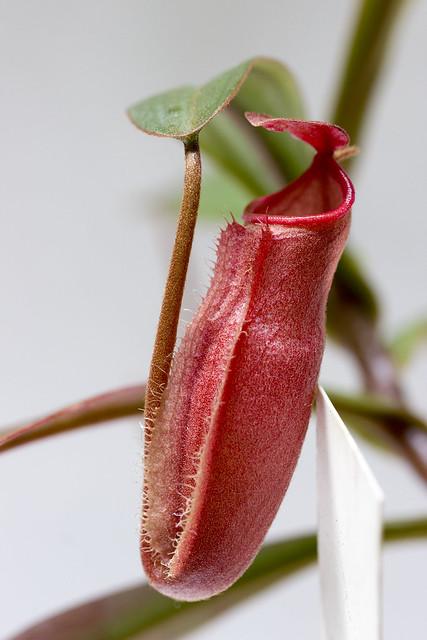 Nepenthes vieillardii BE