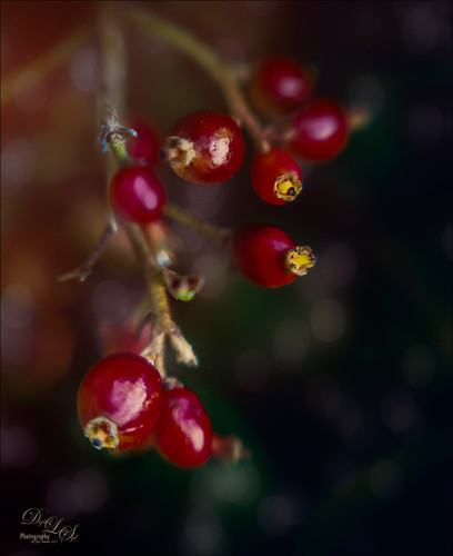 Image of little Red Berries