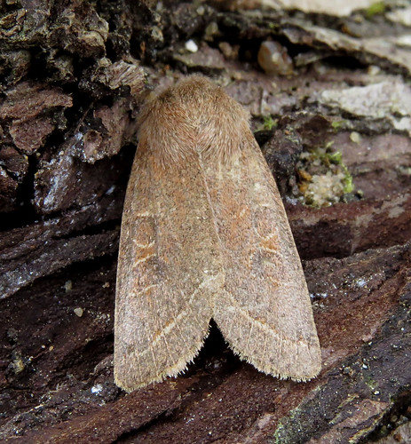 Common Quaker Orthosia cerasi Tophill Low NR, East Yorkshire April 2017