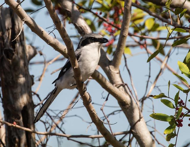 Loggerhead Shrike 095a_3145