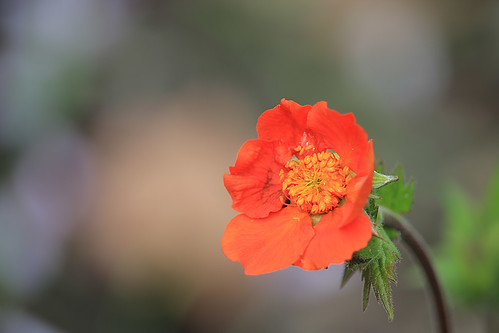 Orange Geum flower