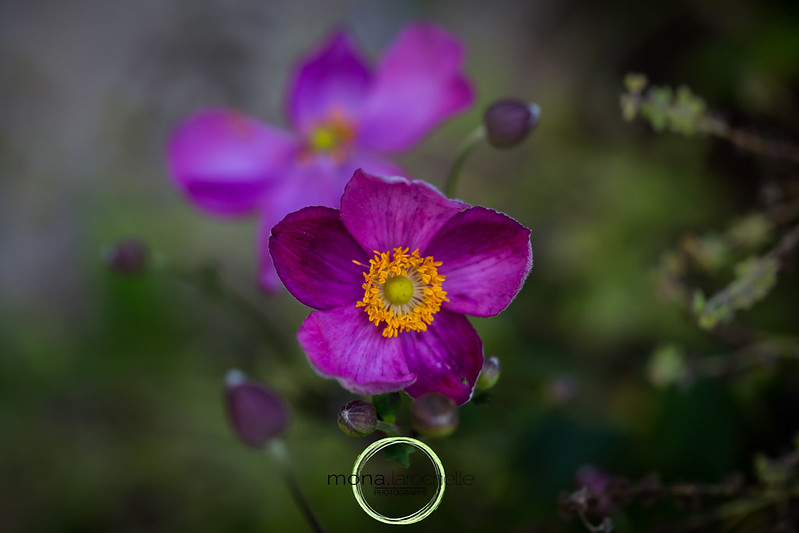 Anemone hupehensis Pretty Lady Susan 33826960111_220447b878_c