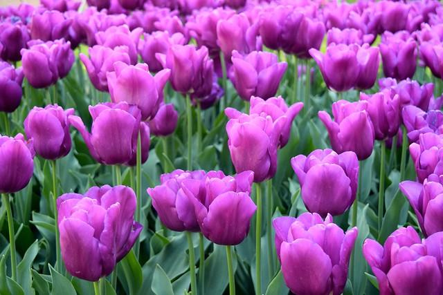 Purple Tulips at The Geffrye Museum of the Home | www.rachelphipps.com @rachelphipps