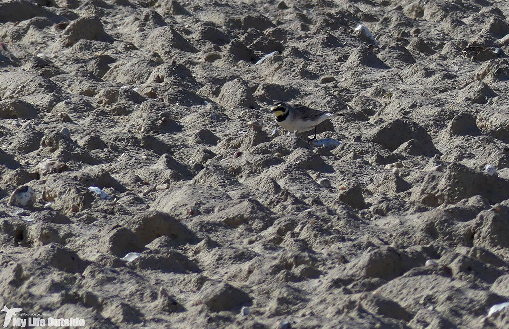 P1070199_2 - Shorelark, Happisburgh