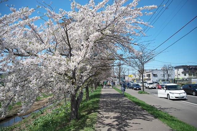 20170504新川さくら並木の桜_04