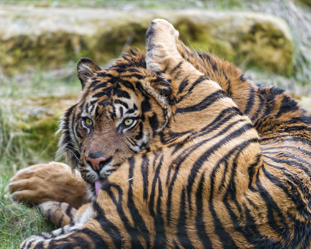 sumatran tiger map with 9148465357 on 9148465357 likewise 5936486606 as well Diffusione E Habitat additionally 4220407336 together with 11.