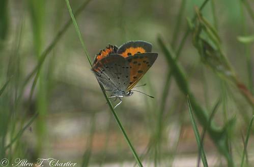 Lycaena phlaeas (American Copper)