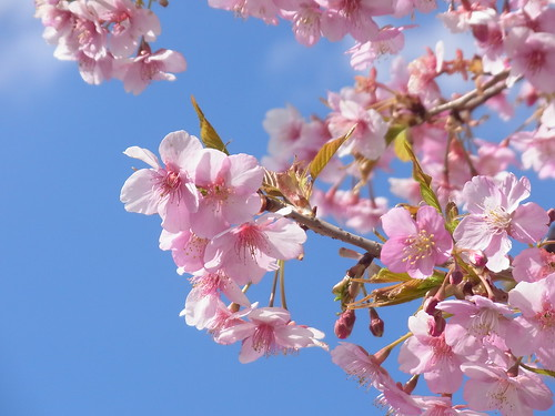春爛漫(河津桜)