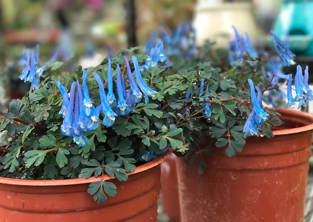 Wow, these Corydalis curviflora Blue Heron are very blue.