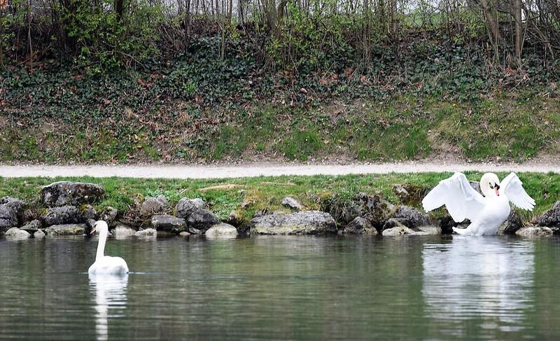 Swans 26.03 (12)