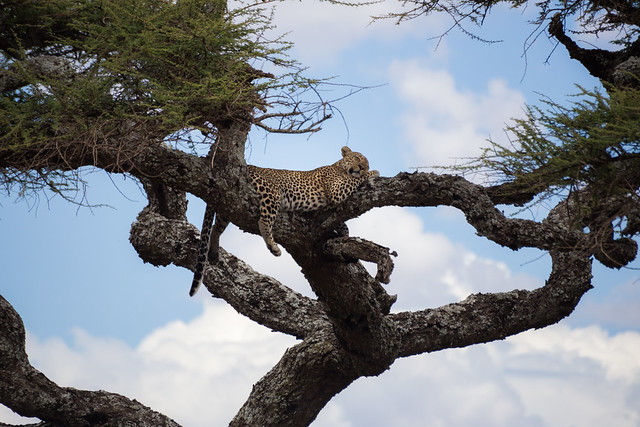 A Leopar'ds Perch