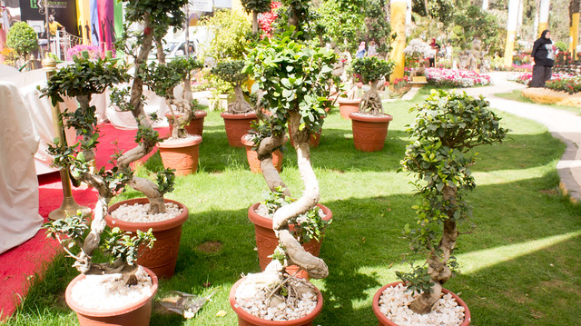 Bosnai trees at Egypt's Spring Flowers show 2017