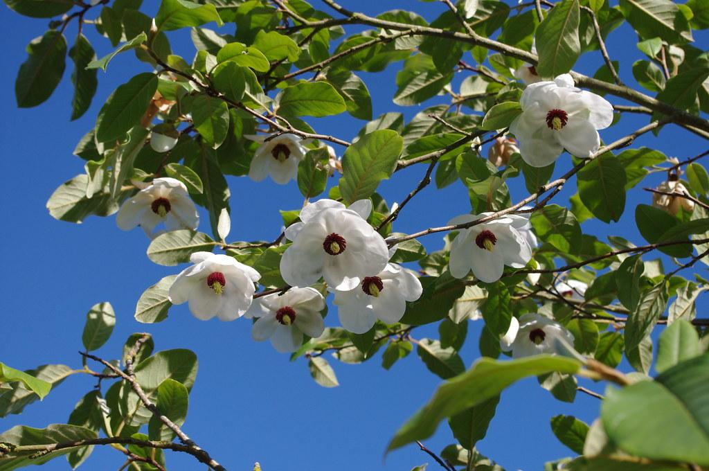 magnolia sieboldii taken on biodiversity day in the. Black Bedroom Furniture Sets. Home Design Ideas