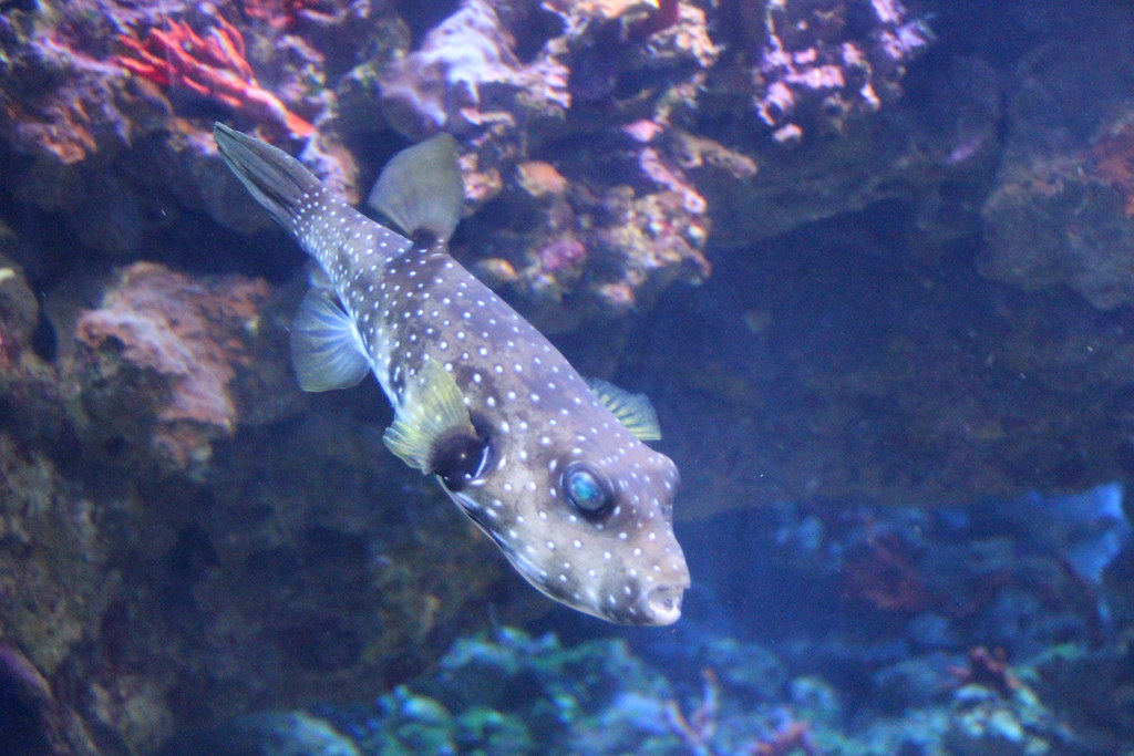 Puffer fish too poisonous to eat kahunapule michael for Poisonous fish to eat