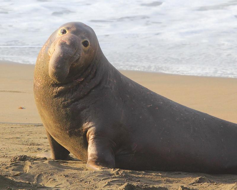 IMG_4948 Elephant Seal at Piedras Blancas