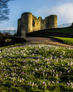 Tonbridge Castle and Spring crocuses