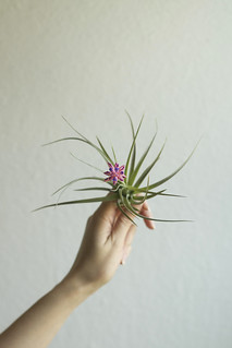air plant blossoming | by childerhouse
