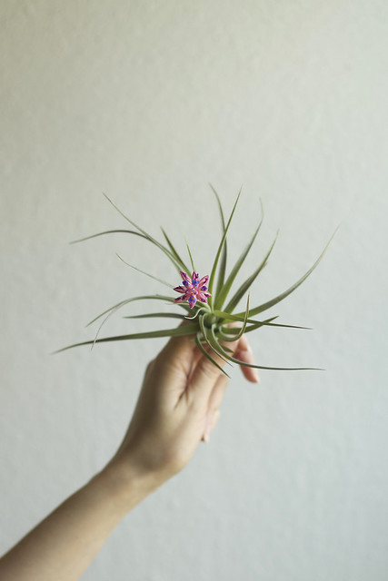 air plant blossoming