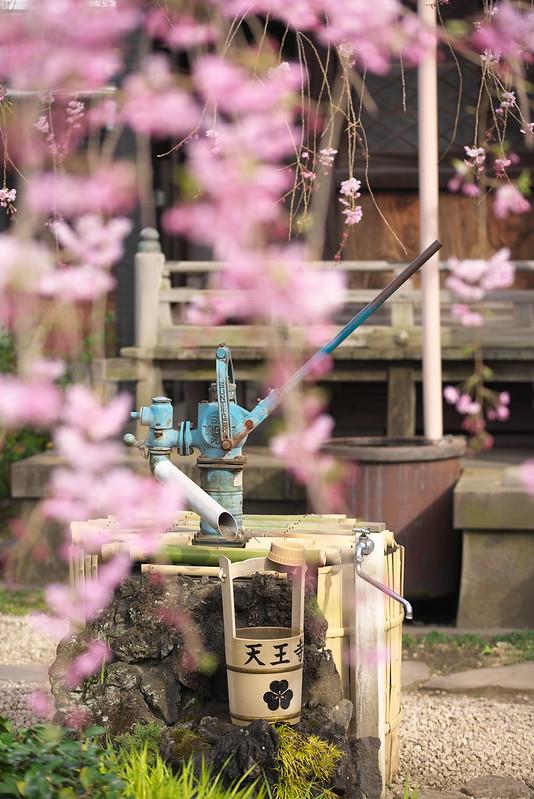 東京春景色 日暮里、谷中、上野の桜
