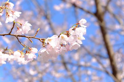 2017.04.02 池田城の桜