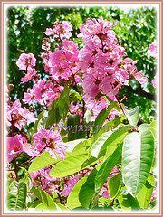 Vibrant pink flowers of Lagerstroemia speciosa (Giant crape-myrtle, Queen's crape-myrtle, Queen's Flower, Pride-of-India), 11 April 2011