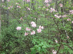 Some Kind of Azalea