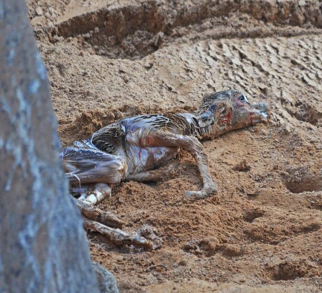 Cría recién nacida de gacela Mhorr
