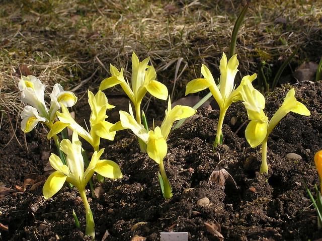 Iris reticulata 'Sunshine'