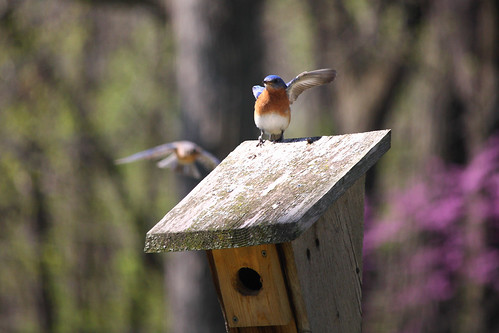 Bluebird Directing Traffic