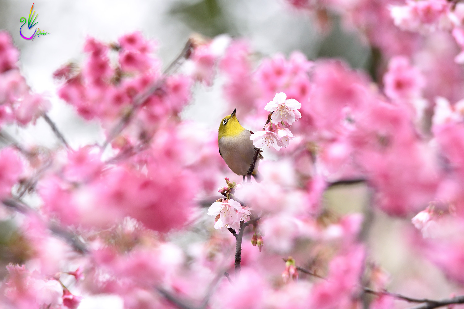 Sakura_White-eye_1510
