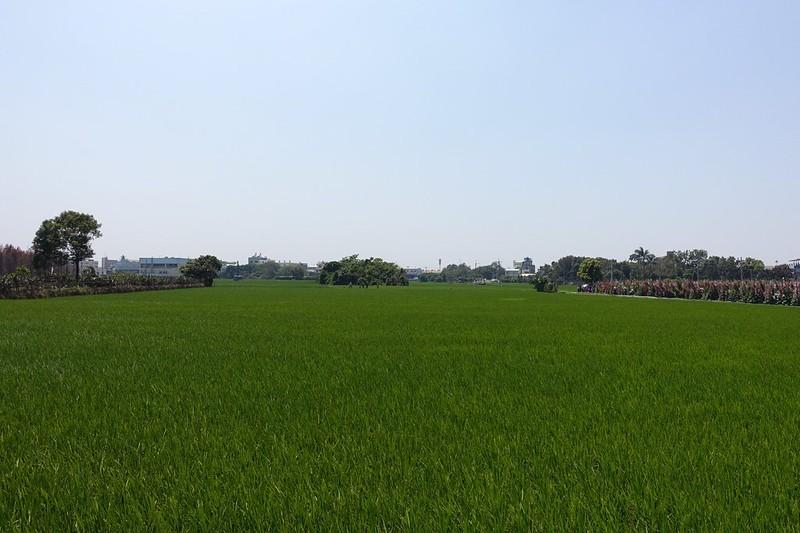 員林蜀葵花田旁的農田