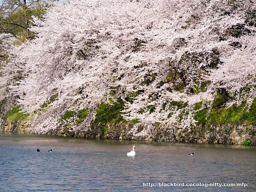 Cherry blossoms #06