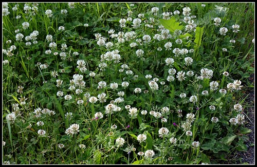 Trifolium repens - trèfle rampant 33771080810_e01870c9de