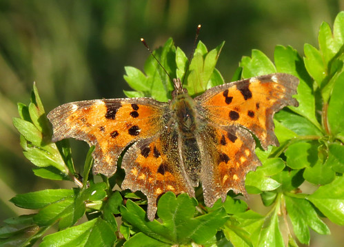 Comma Polygonia c-album Tophill Low NR, East Yorkshire April 2017