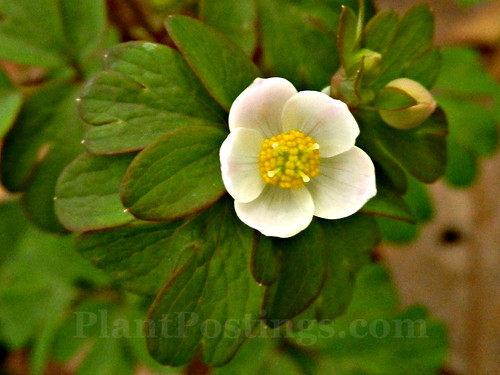 false rue anemone 1