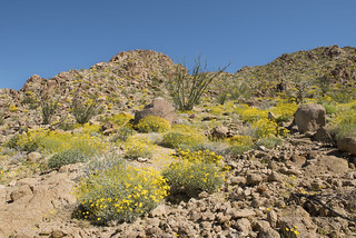 Wildflowers on hillside near Cottonwood | by Joshua Tree National Park