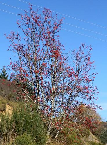 Sorbus aria - alisier blanc 34250085772_2d45c6bbc8