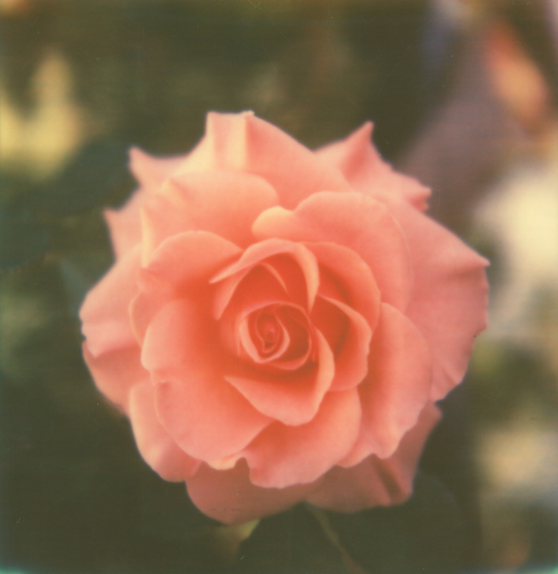 one perfect rose | Meghan Davidson | Flickr