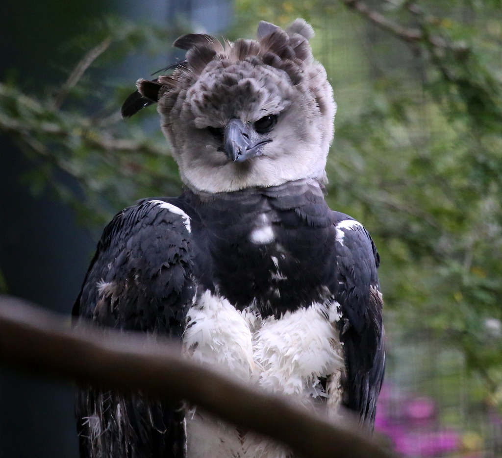 Harpy Eagle Region South America Harpy Eagles Are