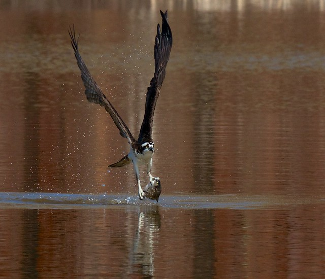 Osprey catching fish 11 flickr photo sharing for Osprey catching fish