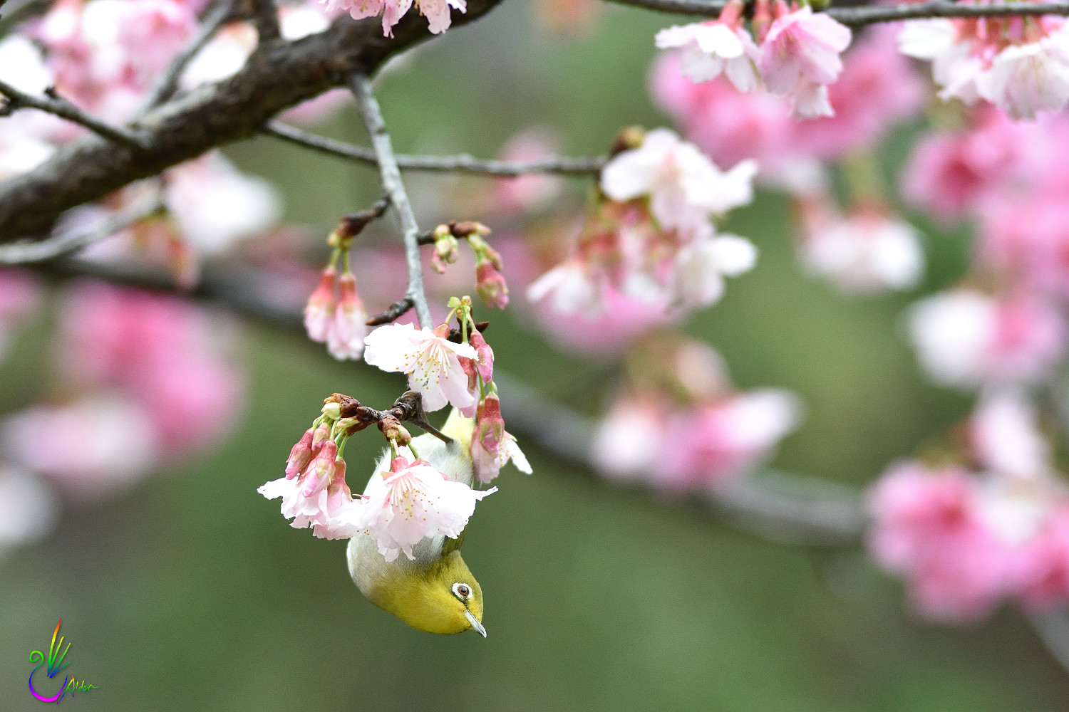 Sakura_White-eye_0609